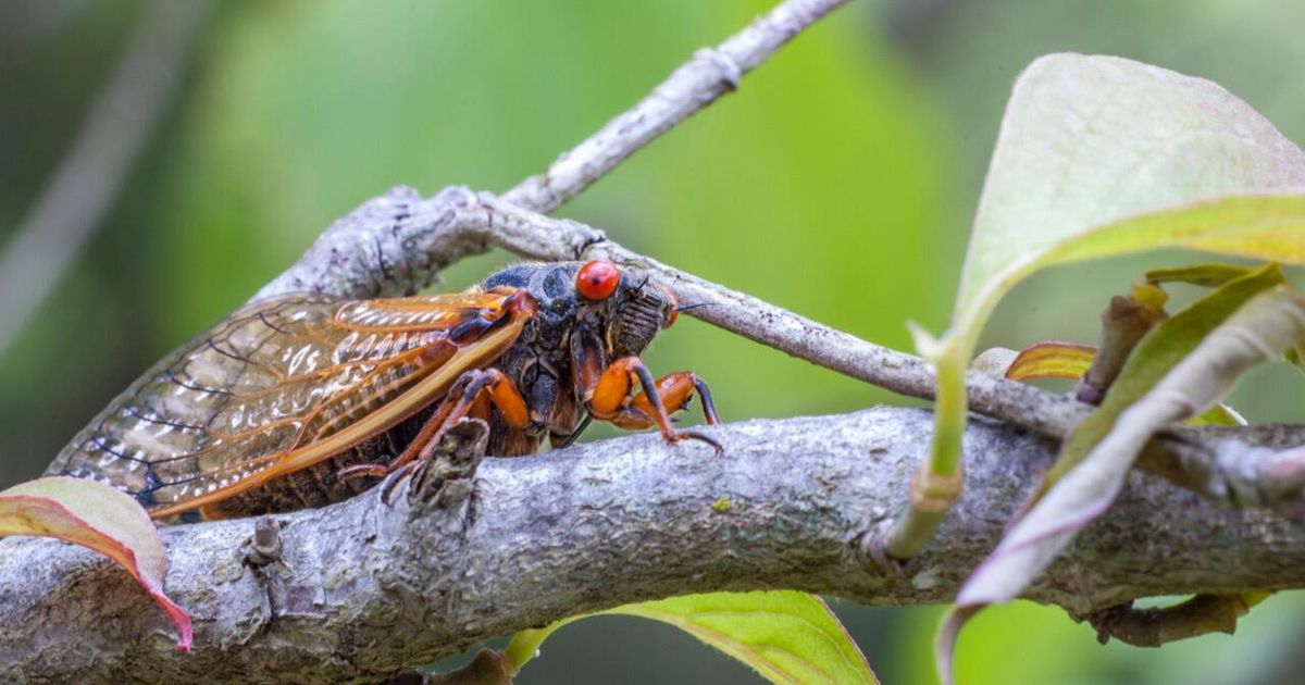 Billions of Brood X cicadas set to invade US for first time in 17 years